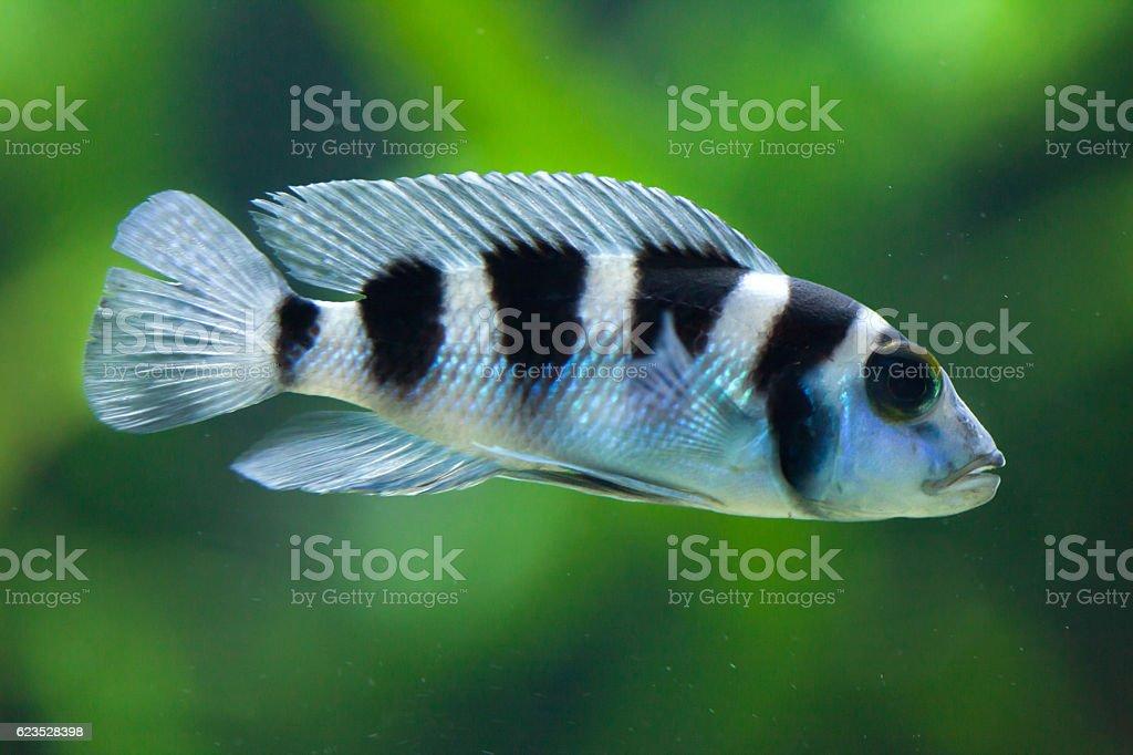 Frontosa (Cyphotilapia frontosa). Juvenile fish. stock photo