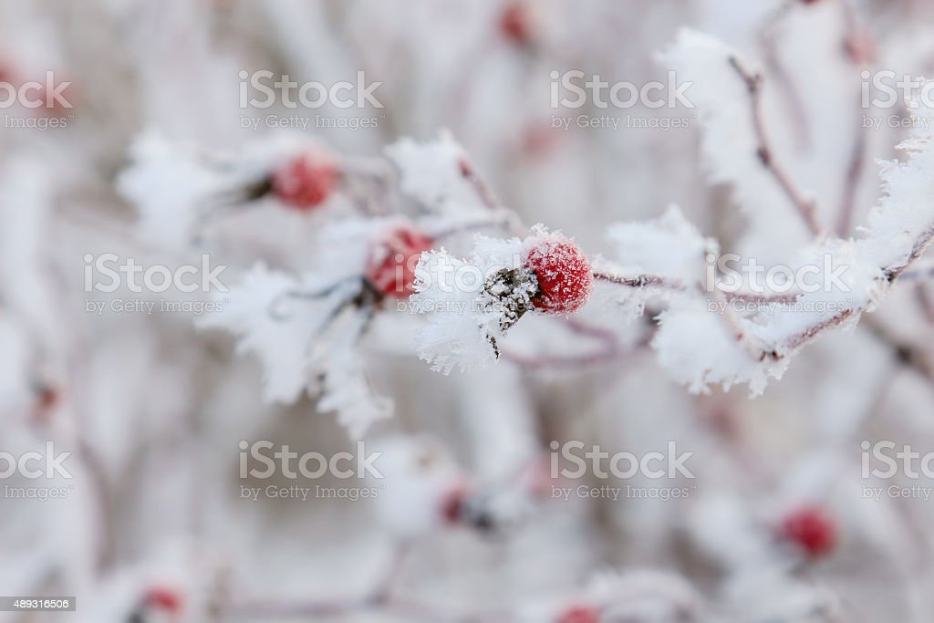 Frosen on a bush dog rose hips stock photo