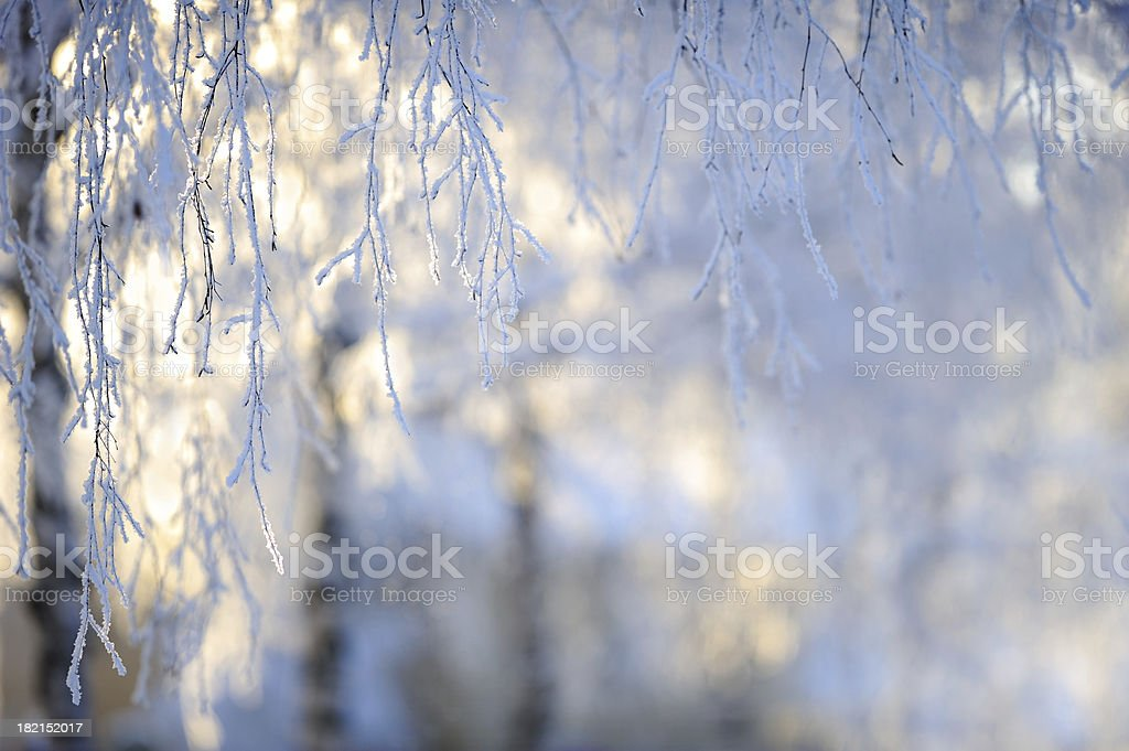 Frost covered birch tree branches royalty-free stock photo