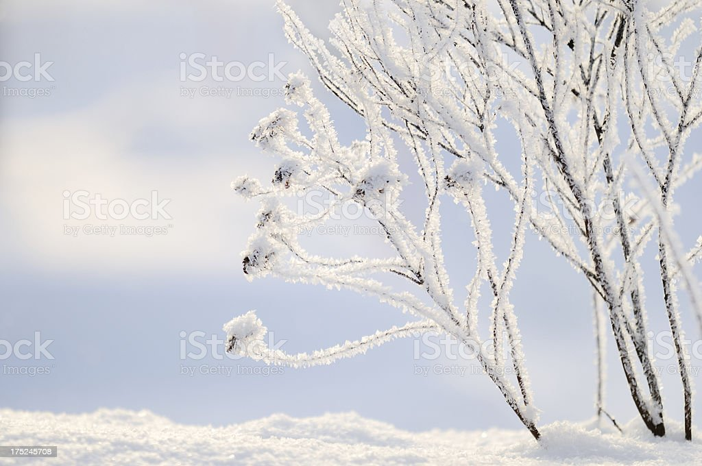 Frost covered branches royalty-free stock photo