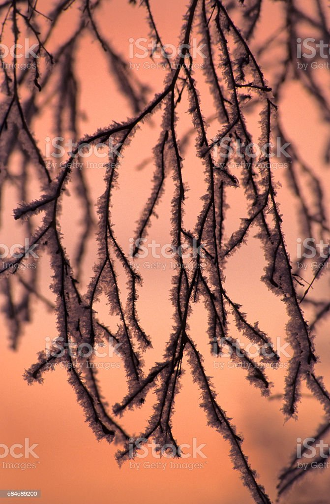 Frost covered branches stock photo