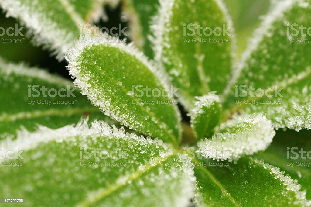 Frost Covered Jasmine stock photo