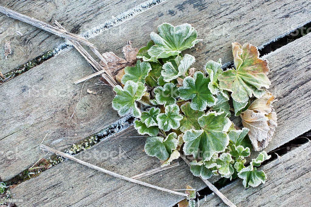 Frost covered Lady's mantle leaves stock photo