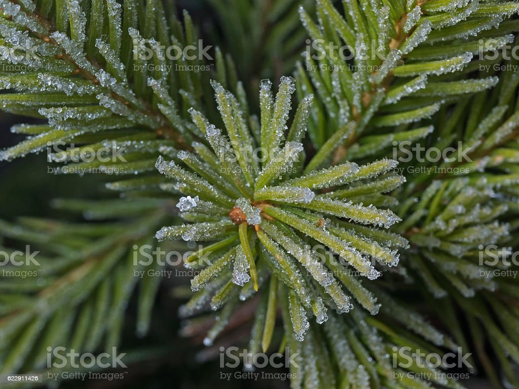 Frost covered pine needles, Tannennadeln mit Frost stock photo