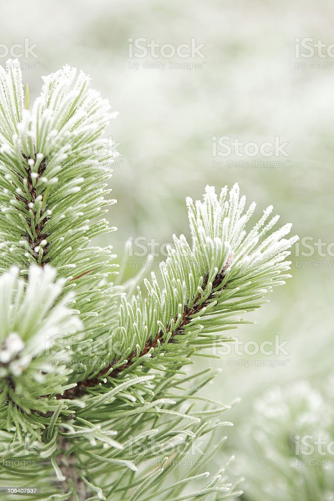 Frost covered pine tree. royalty-free stock photo