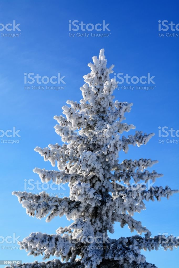 Frost covered pine tree stock photo