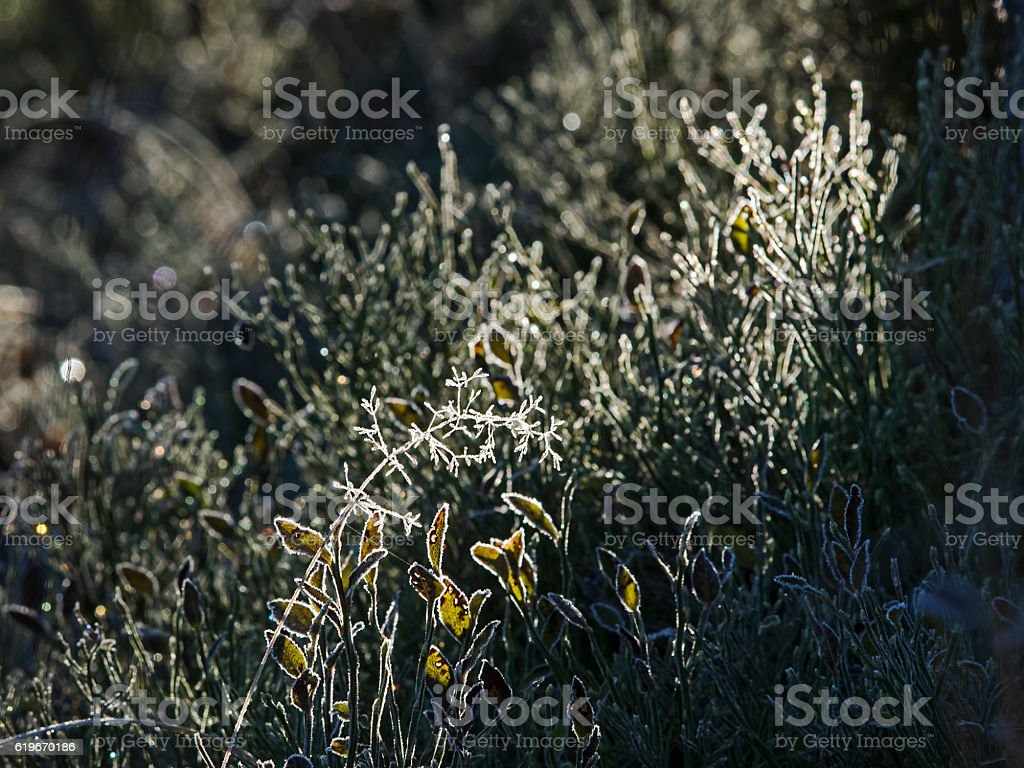Frost covered plants in the backlight, Pflanzen mit Frost im Gegenlicht stock photo