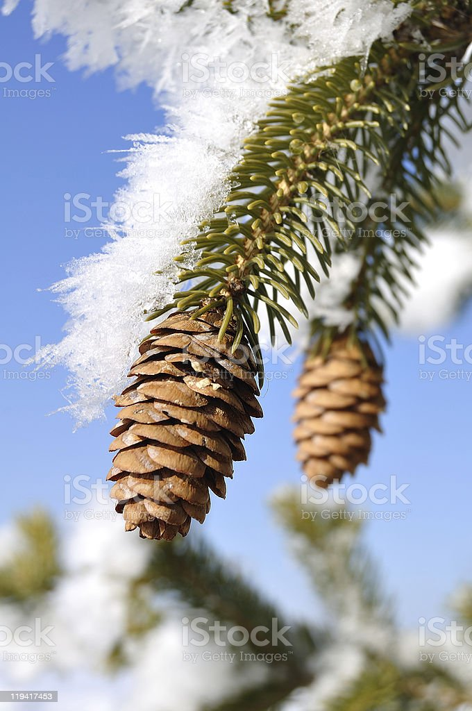 Frost Covered Spruce Tree Branches royalty-free stock photo