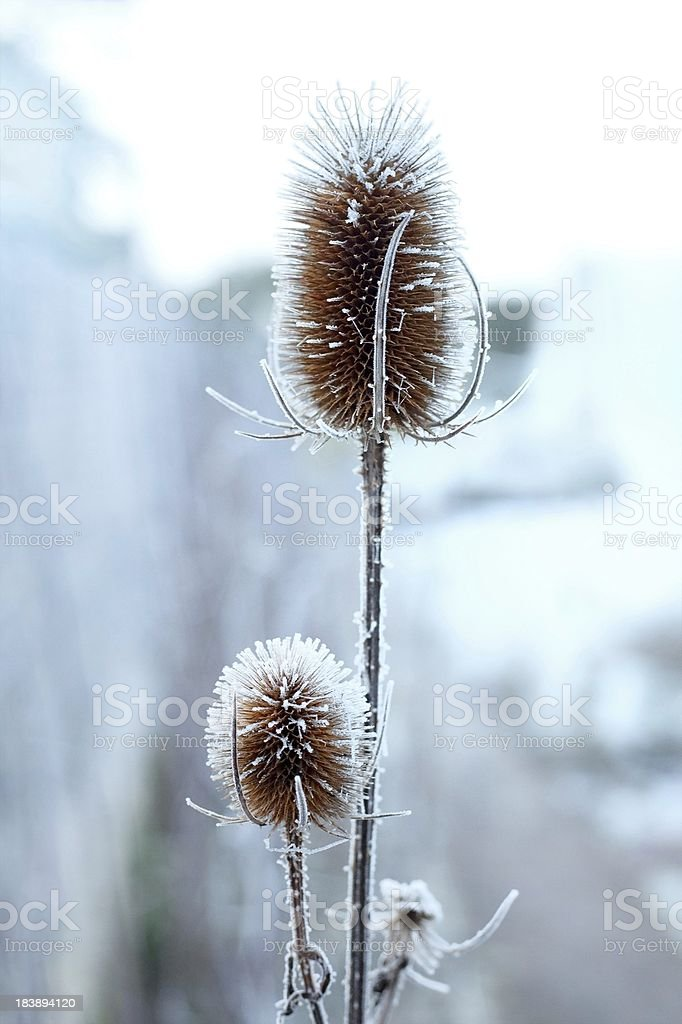 Frost covered Thissle in winter stock photo