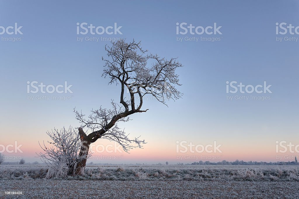 Frost Covering Ground and Twisted, Lone Tree at Sunrise royalty-free stock photo
