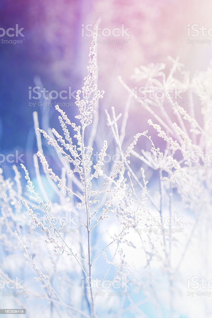 Frost on a herb at sunrise, shallow depth of field royalty-free stock photo