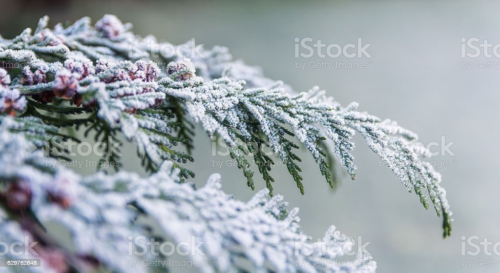 Frost on a Tree, Winter Background, Cold Outside stock photo
