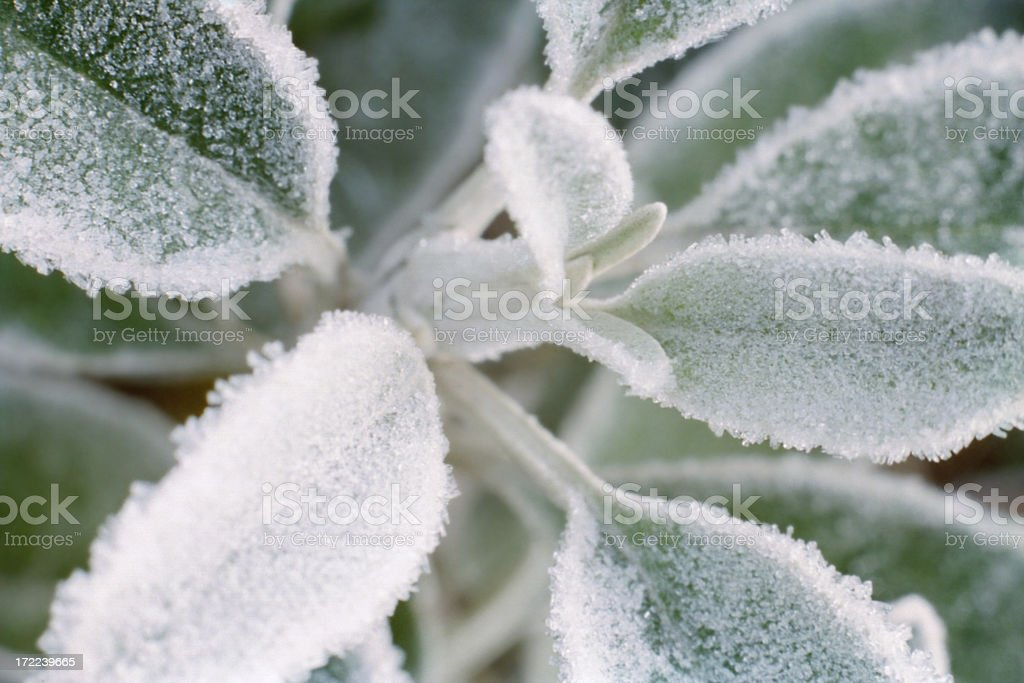 Frost on Leaves stock photo
