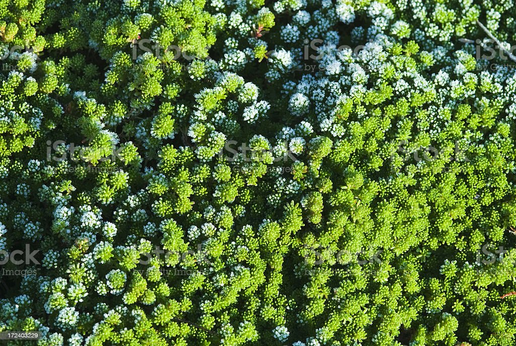 Frost on Stonecrop plants stock photo