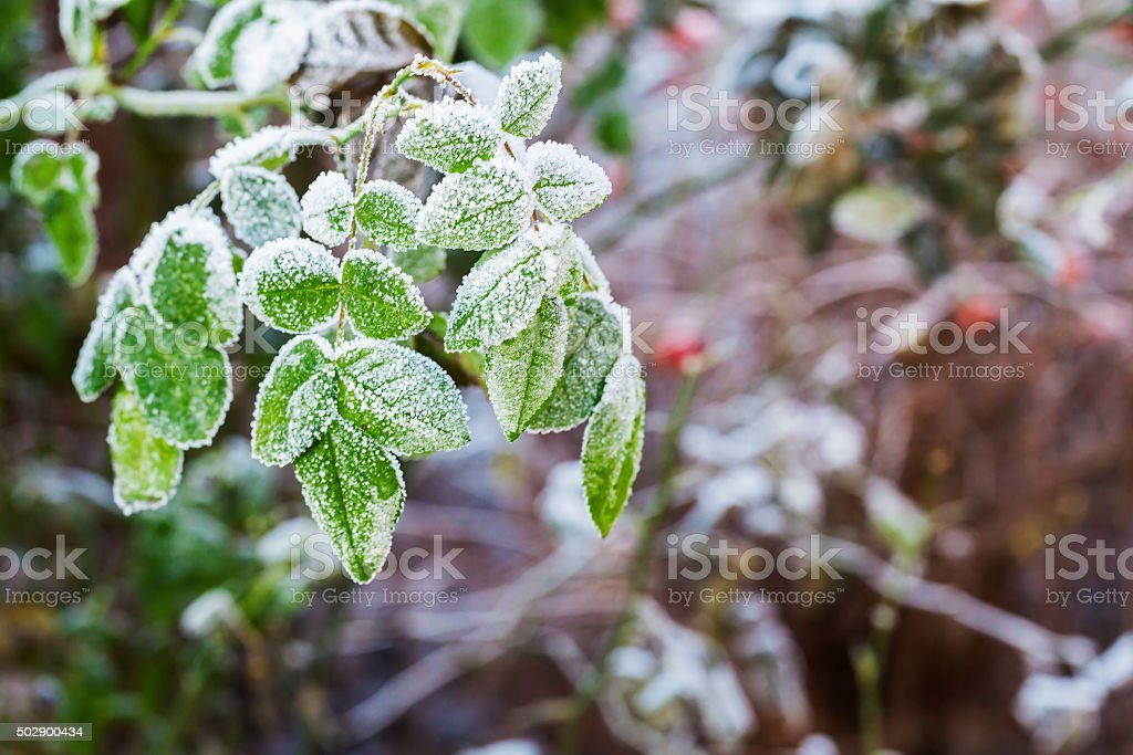 Frost on the leaves of  rose bush in the garden. stock photo