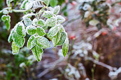 Frost on the leaves of  rose bush in the garden.