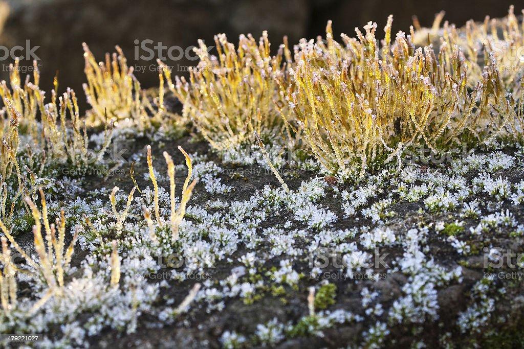 Frost on Wall Screw-moss - Tortula muralis stock photo