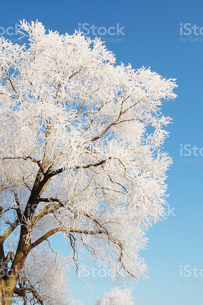 frost on willow treetop royalty-free stock photo