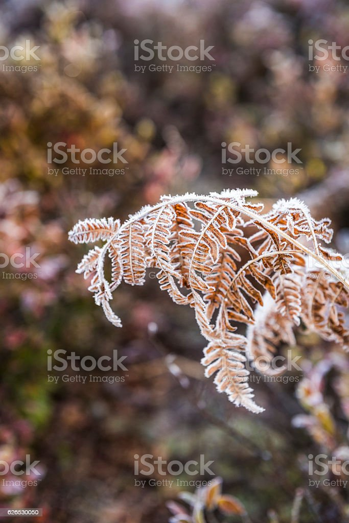 Frost on yellow fern stock photo
