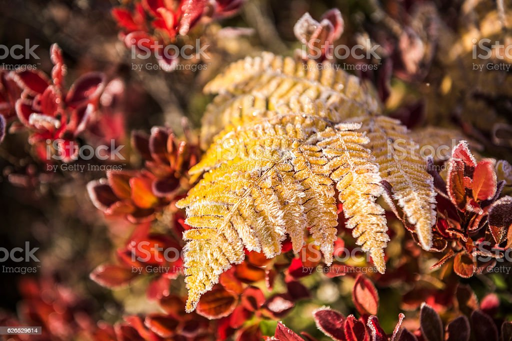 Frost on yellow fern with red blueberry leaves stock photo