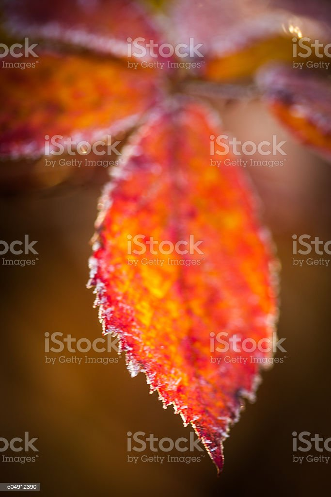 Frost tipped leaf on a cold fall day stock photo