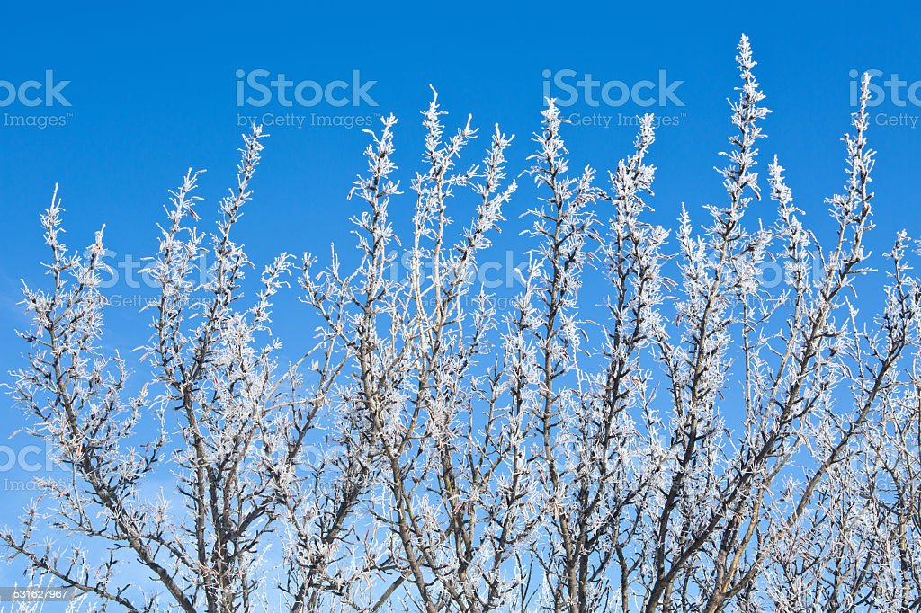 Frost-covered Caragana bushes against blue sky stock photo