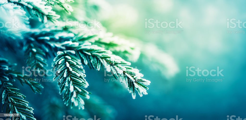frost-covered spruce tree branch royalty-free stock photo