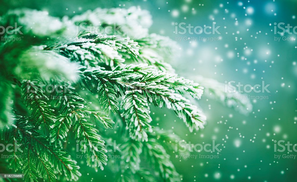frost-covered spruce tree branch stock photo