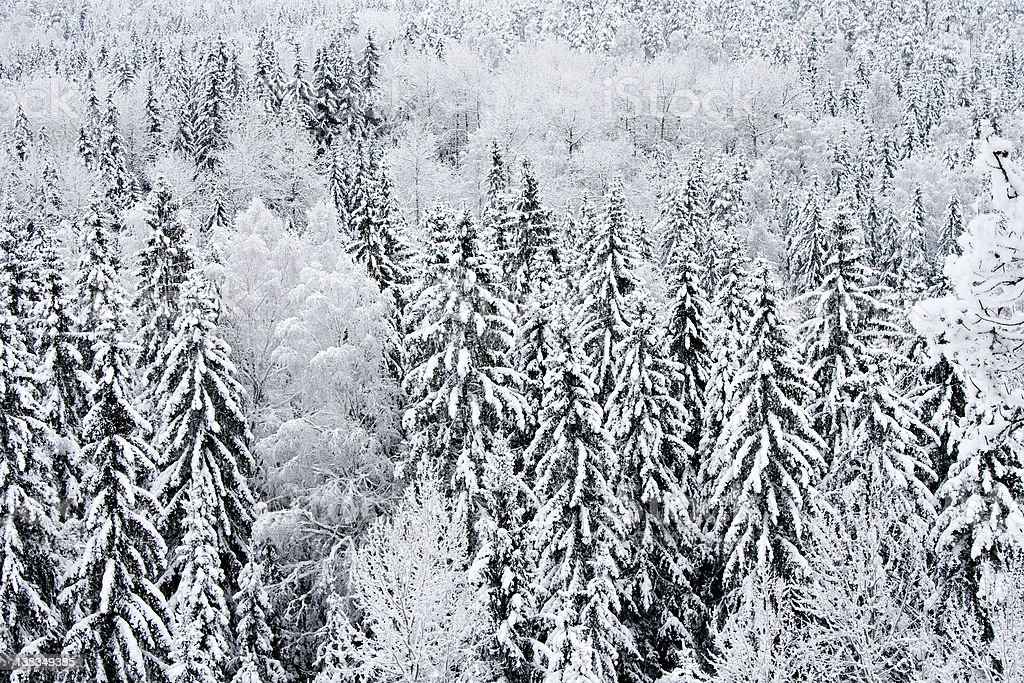 Frosted and snowy forest royalty-free stock photo