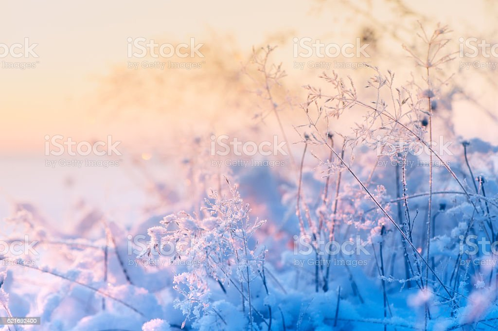 Frosted and snowy grasses stock photo