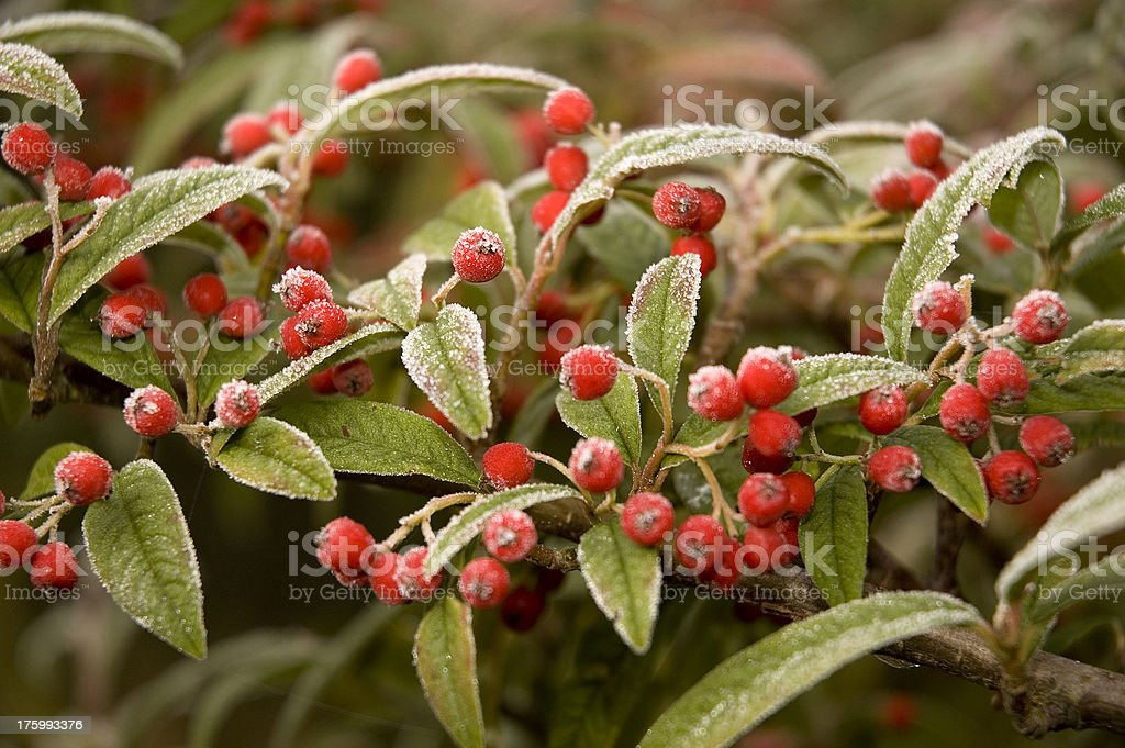 Frosted berries stock photo