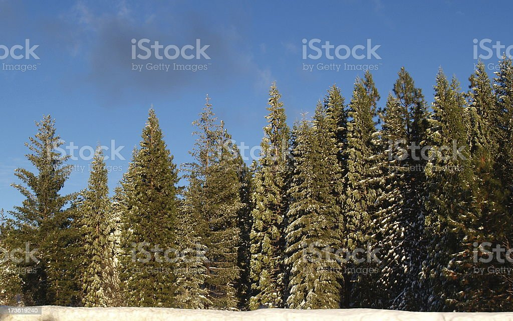 Frosted Evergreens stock photo