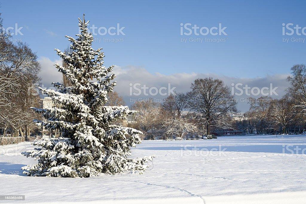 Frosted fir tree, Wiesbaden Reisinger Anlage stock photo