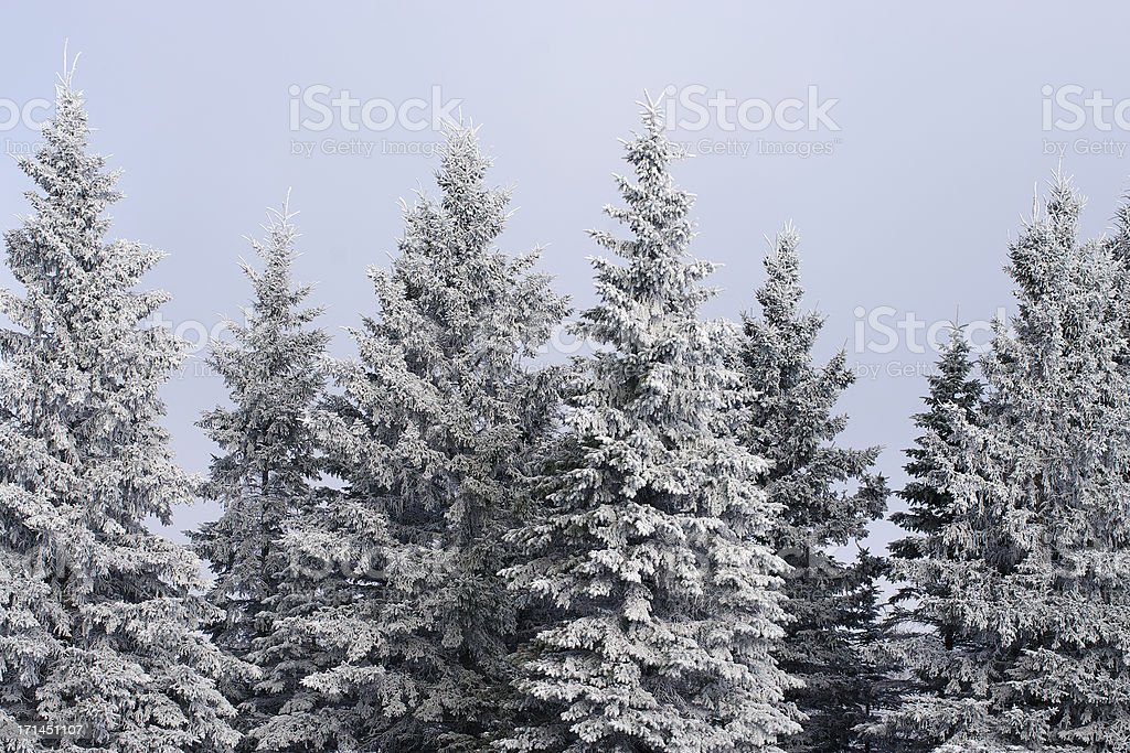 Frosted Forest royalty-free stock photo