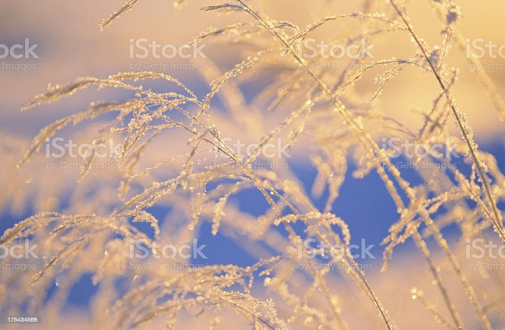 Frosted grasses royalty-free stock photo