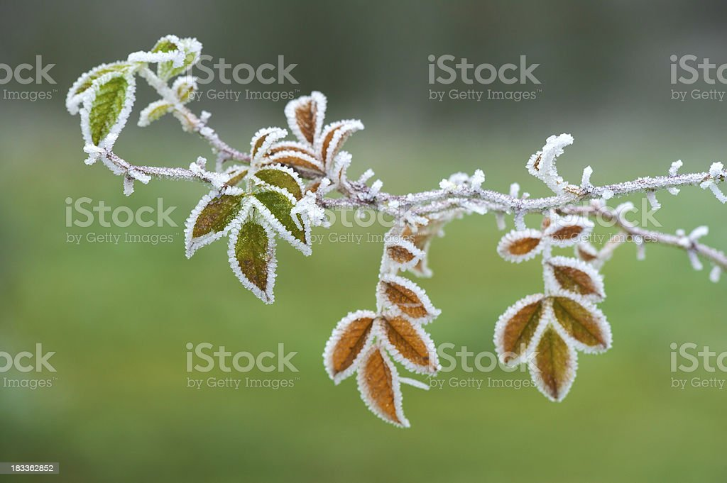 frosted leaves stock photo