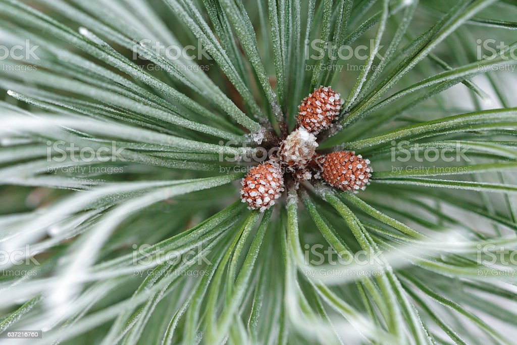 frosted little pine cones stock photo