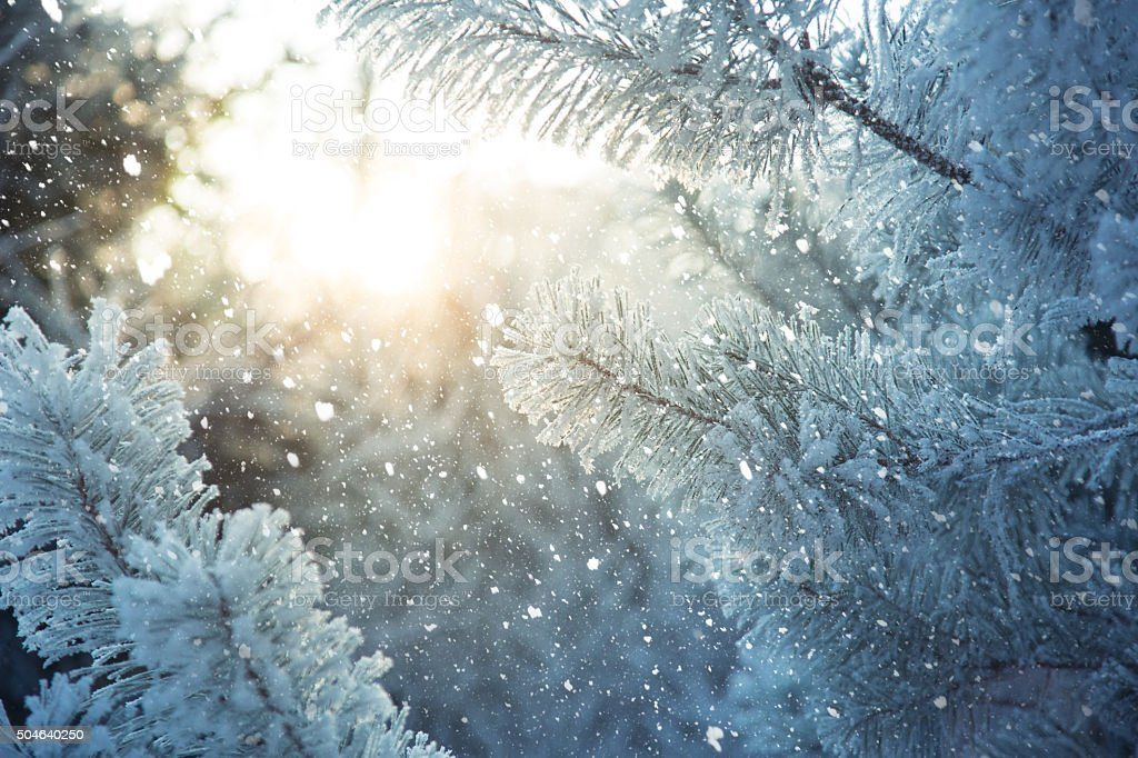 Frosted pine branches. Winter in the woods stock photo