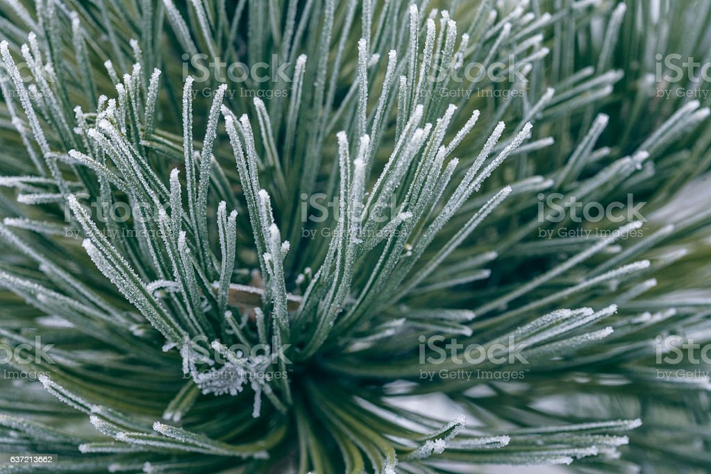 frosted pine needles stock photo