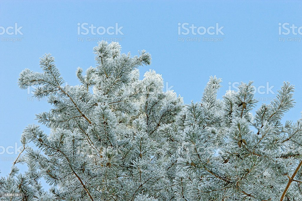 frosted pine royalty-free stock photo