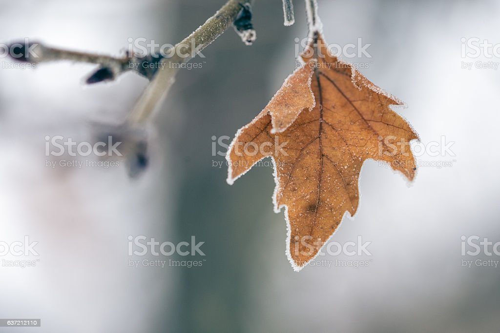 frosted platanus leaf stock photo