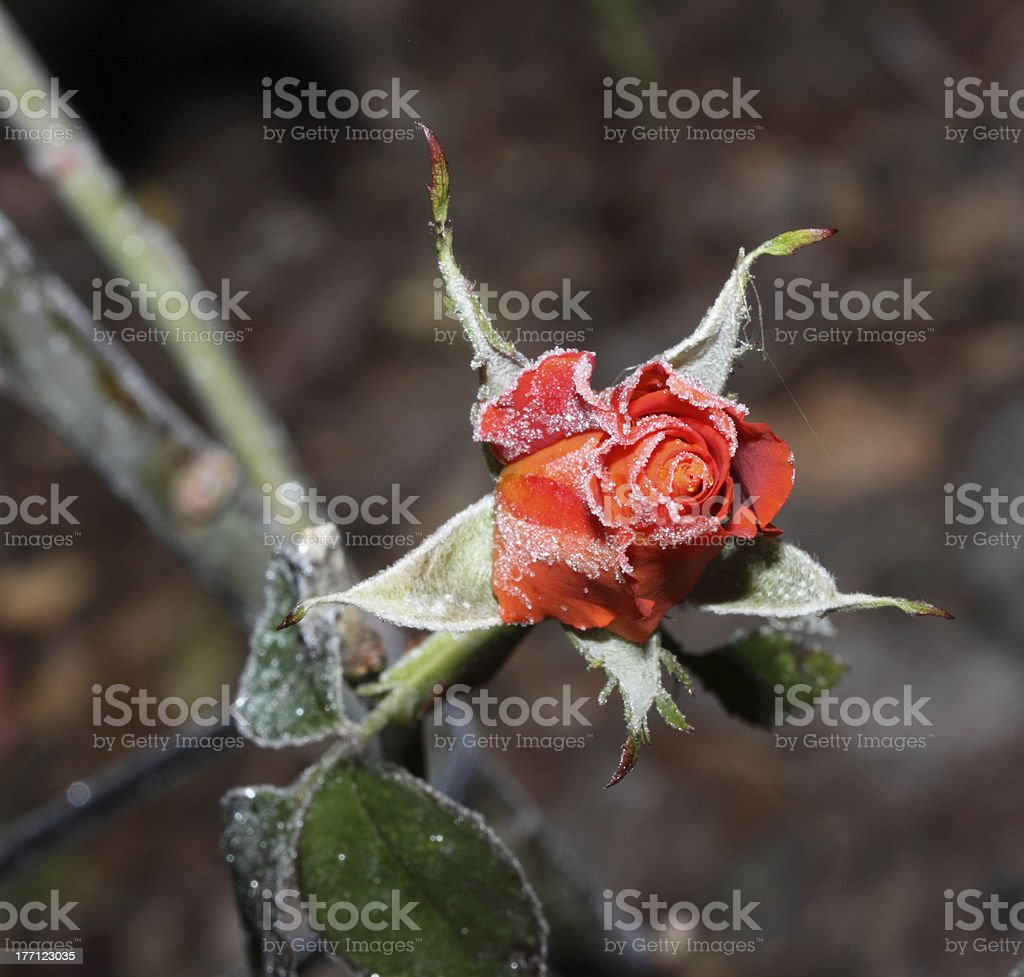 Frosted Red Rose royalty-free stock photo