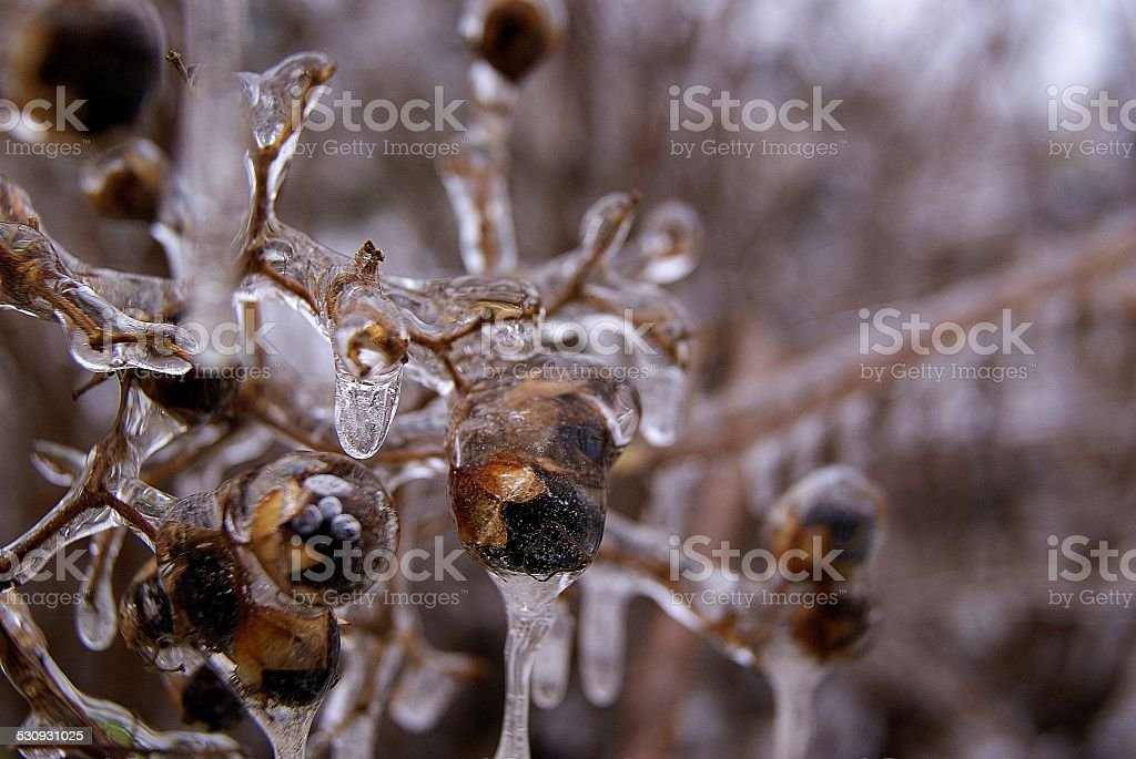 Frosted Rotten Berries royalty-free stock photo