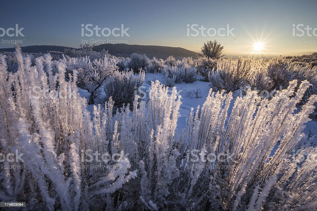 Frosted sagebrush backlit by sunrise on a snow covered desert royalty-free stock photo