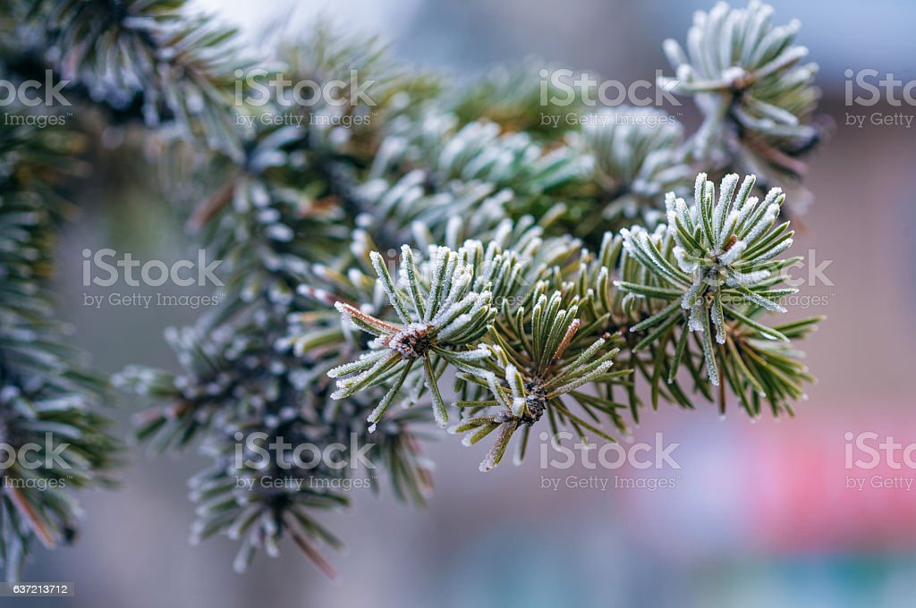 frosted spruce branch stock photo