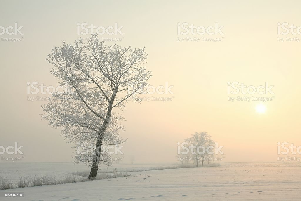 Frosted tree at dawn royalty-free stock photo