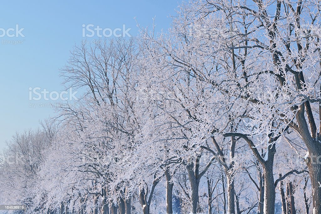 Frosted Trees at Dawn royalty-free stock photo