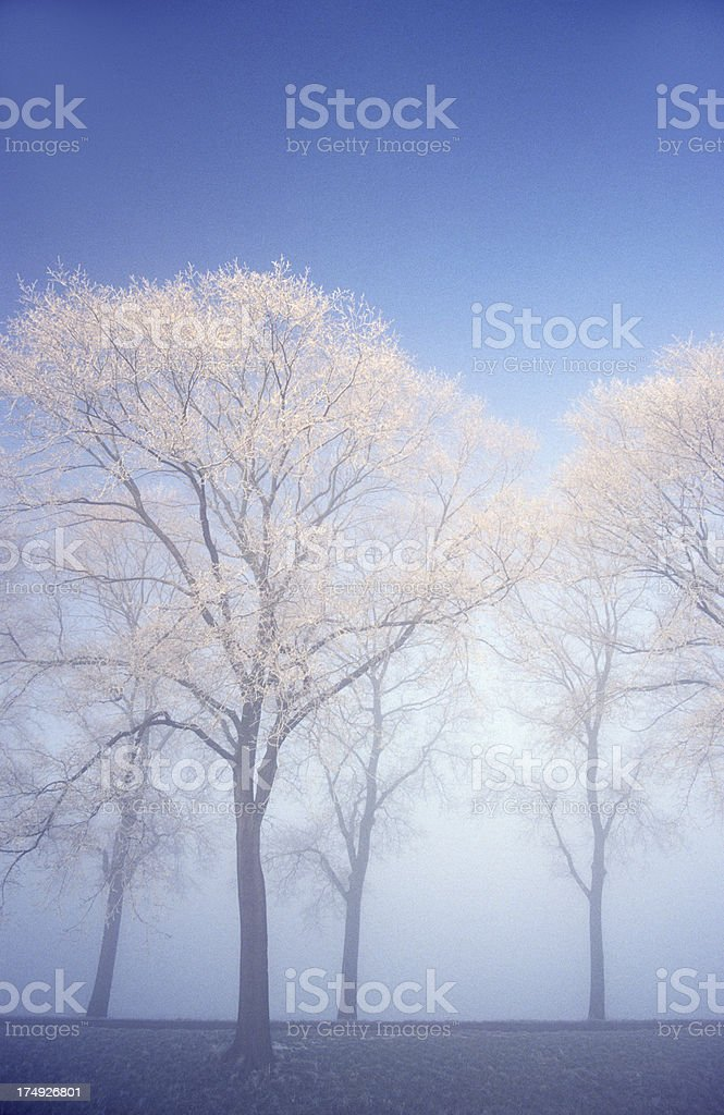 Frosted Trees royalty-free stock photo