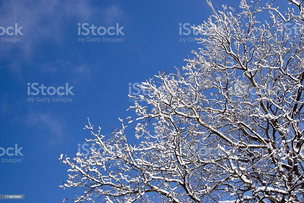 Frosted Walnut Tree royalty-free stock photo
