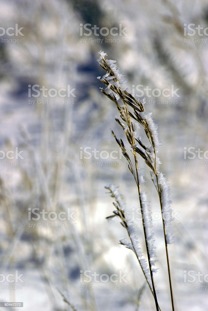 Frosted Wheat royalty-free stock photo